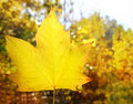 Autumn yellow golden leaf macro Royalty Free Stock Images