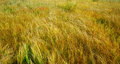 Autumn yellow grass Stock Image