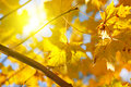 Autumn yellow leaves of maple and sun Royalty Free Stock Images