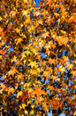 Autumn yellow leaves on tree Stock Photography