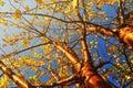 Autumn yellowed bird cherry tree - autumn sunny landscape under autumn sunlight. Royalty Free Stock Photo