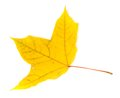 Autumn yellowed leaf isolated on white background Stock Image