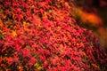 Autumnal background slightly defocused red marple leaves Stock Image