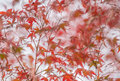 Autumnal background slightly defocused red marple leaves autumn Royalty Free Stock Photos