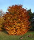 Autumnal beech tree Royalty Free Stock Photos