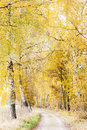 Autumnal birch alley Stock Photography