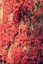 Autumnal Boston ivy