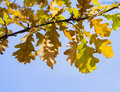 Autumnal branch of oak tree in the sky Royalty Free Stock Photo