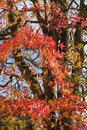 Autumnal Colours Of A Japanese...