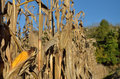 Autumnal corn field there are dry stems with mature corncobs in the autumn Royalty Free Stock Photos