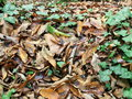 Autumnal dried leaves green and brown Royalty Free Stock Photo