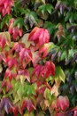 Autumnal fall leaves maple showing off their wonderfully varied colors Royalty Free Stock Images