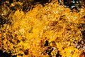 Autumnal golden yellow blurry abstract water background. Formed from sunny reflections of forest trees Royalty Free Stock Photo