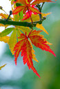Autumnal maple leaves in blurred background Royalty Free Stock Images