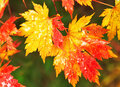 Autumnal maple leaves in blurred background autumn fall scene macro red and yellow foliage seasonal leaf with drops of water Royalty Free Stock Image