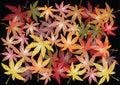 Autumnal maple leaves illustration
