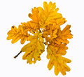 Autumnal oak branch with yellow leaves isolated on white Stock Photos