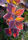 Autumnal red leaves Royalty Free Stock Image