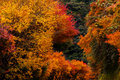Autumnal tints red and yellow in japan Royalty Free Stock Photo