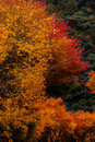 Autumnal tints red and yellow in japan Stock Image