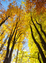 Autumnal trees colorful in forest Royalty Free Stock Images