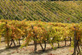 Autumnal vineyards Stock Photography