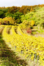 Autumnal vineyards Royalty Free Stock Image
