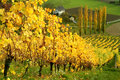 Autumnal wine yards beautiful scenery with rows of yellow in the southern foothills of the austrian alps Royalty Free Stock Photography