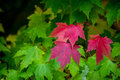 Autumns first color three red maple leaves are the fall colors to show Stock Image