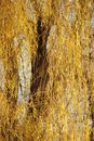 Autumns golden Willow tree leaves Stock Photos