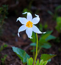 Avalanche Lily Stock Photos