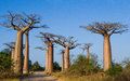 Avenue of baobabs. General view . Madagascar. Royalty Free Stock Photo