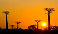 Avenue of baobabs at sunset. General view. Madagascar. Royalty Free Stock Photo
