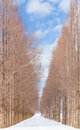 Avenue of dawn redwood tree with snow in winter season at kanazawa city japan Stock Photo