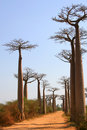 Avenue de Baobab, Madagascar Stock Photo
