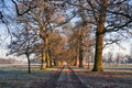 Avenue of oak trees with barnacle geese feeding on the frozen grass stamford on avon on the leicestershire northamptonshire Royalty Free Stock Photography