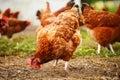 Avicultura libre tradicional de la gama Foto de archivo