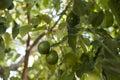 Avocado growing on tree Royalty Free Stock Photo