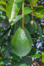 Avocado growing on tree Royalty Free Stock Photo