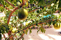 Avocado tree in the island of sal in the archipelago of cape verde Royalty Free Stock Photo