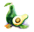 Avocado watercolor illustration of green Stock Image