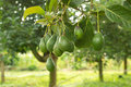 Avocados tree Royalty Free Stock Photo