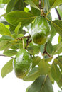 Avocados growing on tree Royalty Free Stock Photo