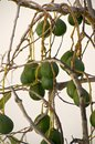 Avocados on tree avocado in the village la calera the island la gomera the island of la gomera is characterized by its diverse Royalty Free Stock Image