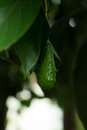 The avocados on the tree.,Green leaves and bokeh light on the b Royalty Free Stock Photo