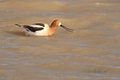 Avocet snapping beak an american its Stock Images