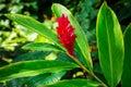 Awapuhi-UlaUla Hawaiian Red Ginger