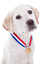 Award winner dog winning champion labrador retriever puppy wearing gold medal Stock Photo