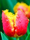 Awesome detail of red yellow tulip flower with rain drops on petals. Blurred green background. Typical flowers for Netherlands. Royalty Free Stock Photo
