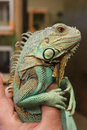 Axanthic blue morph green iguana jade is the name given this juvenile male the rare color variation is obtained Royalty Free Stock Image